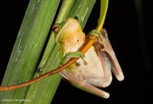2610 American Green Tree Frog (Hyla cinerea).