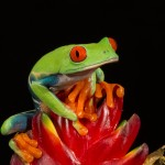2613 Red-eyed Green Tree Frog (Agalychnis callidryas).