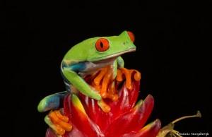 2613 Red-eyed Green Tree Frog (Agalychnis callidryas).