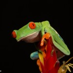 2614 Red-eyed Green Tree Frog (Agalychnis callidryas).