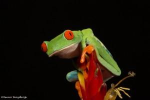 2614 Red-eyed Green Tree Frog (Agalychnis callidryas).