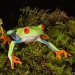 2615 Red-eyed Green Tree Frog (Agalychnis callidryas).