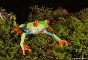 2615 Red-eyed Green Tree Frog (Agalychnis callidryas).
