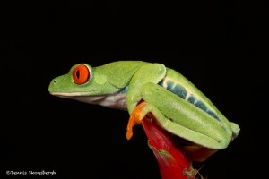 2616 Red-eyed Green Tree Frog (Agalychnis callidryas).