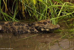 2619 Dwarf Crocodile (Osteolaemus tetraspis).