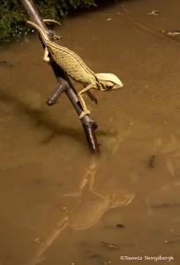 2620 African Cameleon (Chamaeleo africanus).