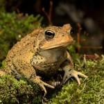 2624 American Toad (Bufo americanus).