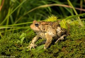 2625 American Toad (Bufo americanus).
