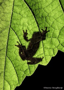 2627 Frog Silhouette
