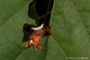 2628 African Clown Reed Frog (Hyperolius tuberilingus).