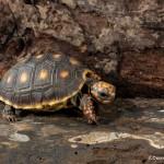 2632 Red-footed tortoises (Chelonoidis carbonaria).