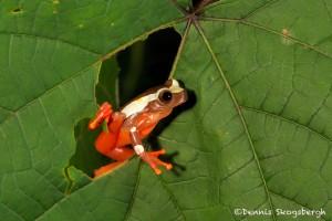 2633 African Clown Reed Frog (Hyperolius tuberilingus).