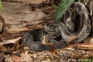 2637 Black Phase Timber Rattlesnake (Crotalus horridus).
