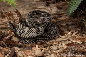 2638 Black Phase Timber Rattlesnake (Crotalus horridus).