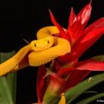 2642 Eyelash Viper (Bothriechis schlegelii).
