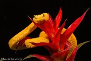 2644 Eyelash Viper (Bothriechis schlegelii).