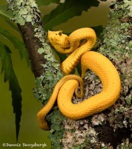 2645 Eyelash Viper (Bothriechis schlegelii).