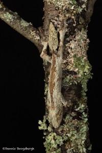 2646 Mossy Leaf-tailed Gecko (Uroplatus sikorae).