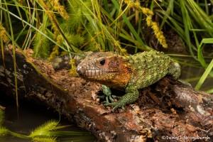 2649 Caimen Lizard (Dracaena guianensis).
