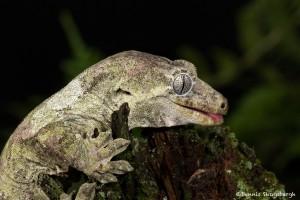 2650 Bavay's Giant Gecko (Rhacodactylus chahoua).
