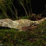2651 Bavay's Giant Gecko (Rhacodactylus chahoua).