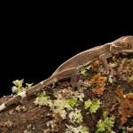 2655 White-lined (Skunk) Gecko (Gekko vittatus).