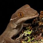 2656 White-lined (Skunk) Gecko (Gekko vittatus).