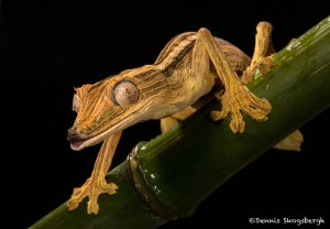 2657 Lined Leaf-tailed Gecko (Uroplatus lineatus).