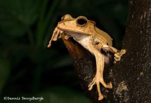 2660 Borneo Eared Frog (Polypedates otilophus).