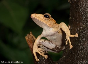 2661 Borneo Eared Frog (Polypedates otilophus).