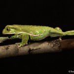 2665 Waxy Monkey Frog (Phyllomedusa sauvagii).