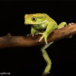 2666 Waxy Monkey Frog (Phyllomedusa sauvagii).