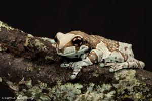 2668 Mission Golden-eyed Tree Frog (Amazon Milk Frog) (Trachycephalus resinifictrix).