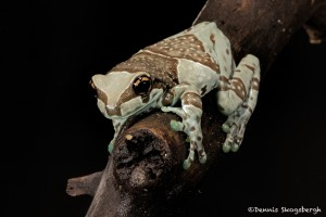 2669 Mission Golden-eyed Tree Frog (Amazon Milk Frog) (Trachycephalus resinifictrix).