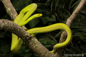 2670 Eastern Green mamba (Dendroaspis angusticeps).
