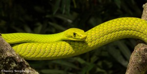 2671 Eastern Green mamba (Dendroaspis angusticeps).