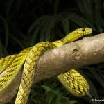 2672 Western Green mamba (Dendroaspis viridis).