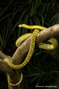 2673 Western Green mamba (Dendroaspis viridis).