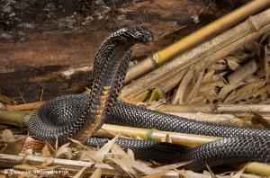 2677 Pakistani Black Cobra (Naja naja karachiensis).