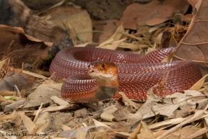 2679 Red Spitting Cobra (Naja pallida).