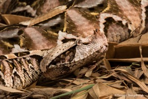 2681 Western Gaboon Viper (Bitis gabonica). Native to the rainforests and savannas of sub-Saharan Africa