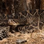 2682 Eastern Diamondback Rattlesnake (Crotalus adamanteus).
