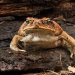 2683 Cane or Marine Toad (Bufo marinus).