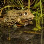 2687 African Burrowing Bullfrog (Pyxicephalus adspersus).