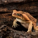 2687 Cane or Marine Toad (Bufo marinus).