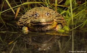 2688 African Burrowing Bullfrog (Pyxicephalus adspersus).
