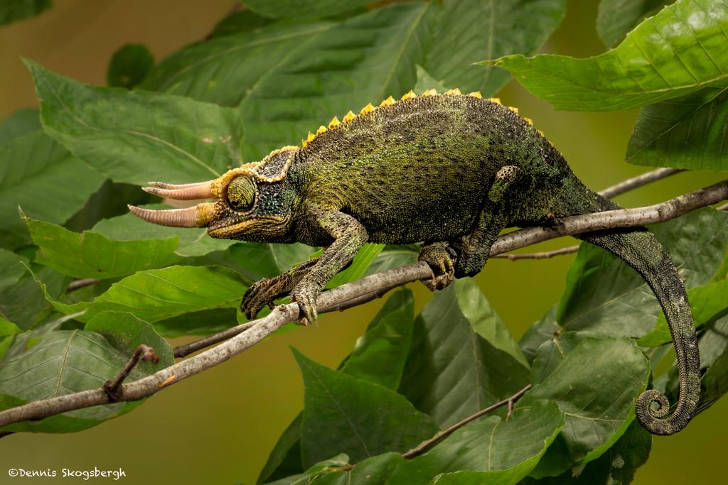 2689-Jackson-Chameleon-Trioceros-jackson
