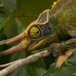2690 Jackson's Chameleon (Trioceros jacksonii).