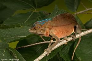 2691 Crested or Sailfin Chameleon (Trioceros cristatus).