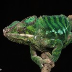 2693 Panther Chameleon (Furcifer pardalis).